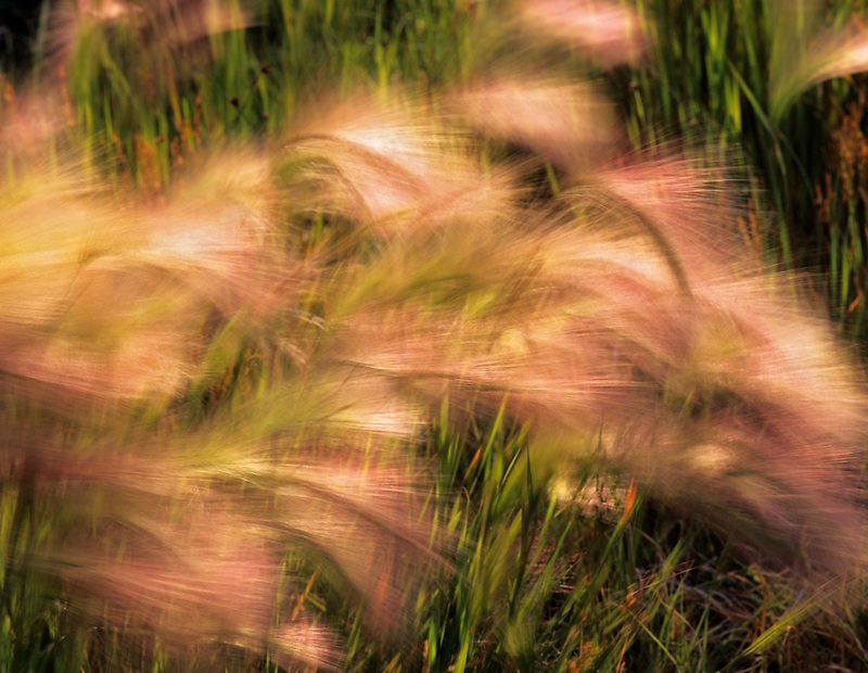 Long bearded grass waving in the wind on shore of Mono Lake, California.