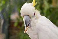 Kakadu - Jaderberg 21.07.2020: Tier- und Freizeitpark Jaderpark