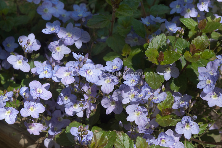 Blue flowers of spring flowering creeping speedwell, Veronica peduncularis