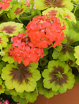 Indian Dunes Geranium, Pelargonium domesticum