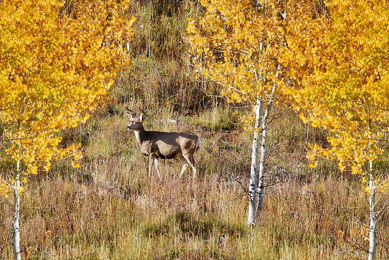 Buck deer with fall colored aspens. Teton National Park, WY