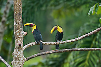 Chestnut-mandibled Toucans or Swainson's Toucans (Ramphastos swainsonii or Ramphastos ambiguus swainsonii).  Found from Honduras south through Central America into northern South America.  These photos are from Costa Rica.