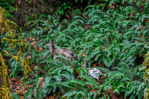 Columbian Black-tailed Deer doe or Coastal Black-tailed Deer doe (Odocoileus hemionus columbianus) with Piebald fawn in fall walking thru ferns.  Pacific Northwest.  This is a fawn born in May or June in November (roughly 6 months old).<br /> <br /> Piebaldism is a rare genetic anomaly in deer that can include a range of potential deformities, from coat coloration to skeletal alignment, from mild to severe. This is because some of the same genes that code for coat color also code for other physical traits.  Piebaldism is a recessive trait; it is believed that both parents must carry the recessive gene for there to be a chance that they will produce piebald fawns. It's also possible for a piebald doe to reproduce and bear normal fawns.