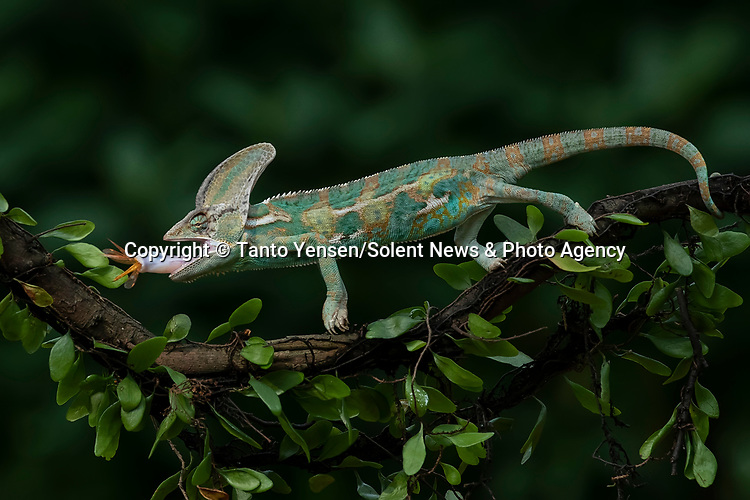 SEQUENCE 7 OF 9:  A chameleon balances on a thin branch as it catches a dragonfly with its long and sticky tongue.  The brightly patterned reptile leans forward to strike at the small orange insect.<br /> <br /> The images were captured by professional photographer Tanto Yensen, in Jakarta, Indonesia.   SEE OUR COPY FOR DETAILS<br /> <br /> Please byline: Tanto Yensen/Solent News<br /> <br /> © Tanto Yensen/Solent News & Photo Agency<br /> UK +44 (0) 2380 458800