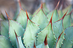 A close-up of an agave plant.