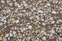 Muschelschalen am Strand, Spülsaum, Schale, Muschelschale, Schill, Muschelschill, Herzmuscheln und Scheidenmuscheln und andere Arten, Wattenmeer, Nordsee