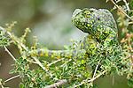 Adult Flap-necked Chameleon (Chameleo dilepis). Ndutu Safari Lodge, Ngorongoro Conservation Area, Tanzania.