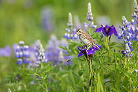 Savannah sparrow perches on the wildflower blossom of a wild iris in a lush summer field of vegetation in Katmai National Park, Alaska Peninsula, southwest Alaska.