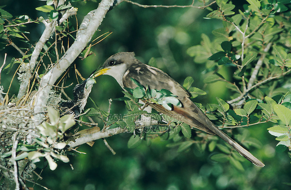 Yellow-billed Cuckoo, Coccyzus americanus,adult feeding young, Welder Wildlife Refuge, Sinton, Texas, USA