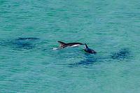 Peale's dolphins, Lagenorhynchus australis, adult, Gypsey Cove, East Island, Falkland Islands, South Atlantic Ocean