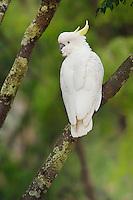 Sulphur-crested Cockatoo  (Cacatua galerita),adult in tree, Australia