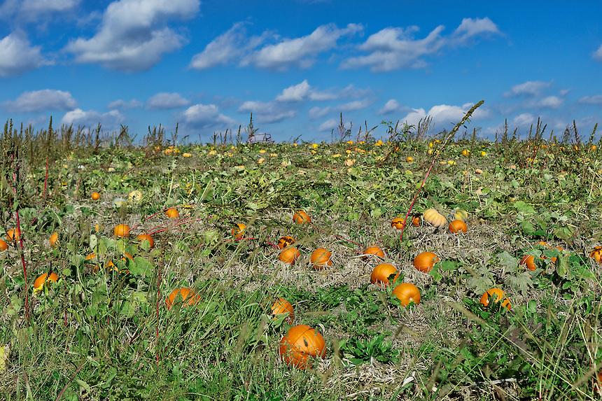 Pumpkin patch, Lancaster County, Pennsylvania, USA