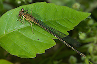 Blue-fronted Dancer (Argia apicalis) Damselfly - Female, Brown Form, Silver Lake Preserve, West Harrison, Westchester County, New York
