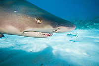 Lemon shark, Negaprion brevirostris, underwater, West End, Grand Bahamas, Caribbean, Atlantic Ocean