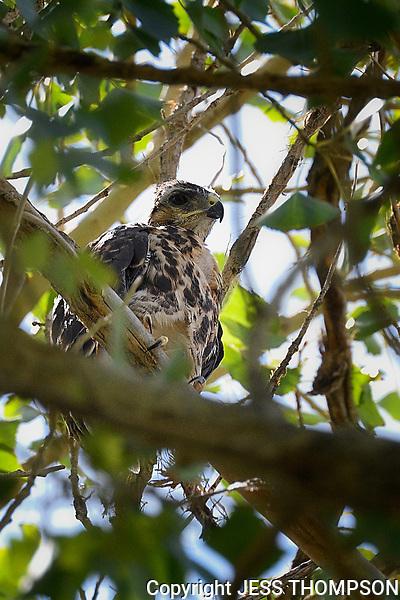 Immature Gray Hawk, pre-fledge, Big Bend National Park