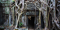 Impressive tree root growing through Ta Prohm (Rajavihara) temple ruins in the jungle of Angkor Wat Siem Reap complex, Cambodia Southeast Asia