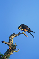 527550006 a wild female aplomado falcon falco femoralis a federally endangered species perches in a dead tree on los ebanos ranch tamaulipas state mexico
