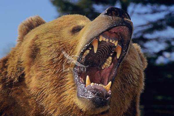 Grizzly Bear threatening.