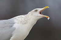 """Adult Herring Gull (Larus argentatus) in basic (winter) plumage vocalizing. Bird is producing the """"Long Call"""", consisting of several repeated notes produced while bird lowers and then elevates head. This call is given in several contexts. In this case it was given after a bout of aggression. Tompkins County, New York. December."""