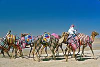 Dromedários no deserto em Abu Dhabi, Emirados Árabes. 2001. Foto de Ricardo Azoury.