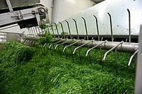 POLAND, Rusiec, herb and spices cultivation, processing and trade, drying of dill weed / POLEN, Rusiec, Firma Bromex, Vertragsanbau, Verarbeitung und Handel von Kräutern und Gewuerzen, Trocknung von frisch geerntetem Dill