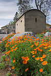 California poppies by the old Murphy's jailhouse (concrete building), off Main St., Calif.