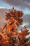 Whitebark pine (Pinus albicaulis), Crater Lake National Park, Oregon, USA, endangered