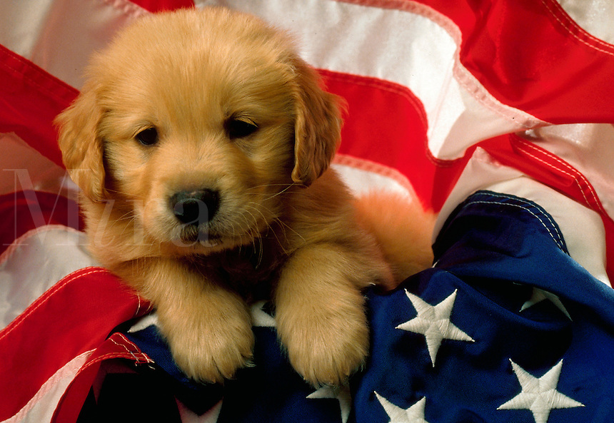 A Golden Retriever puppy on an American flag.