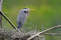 Adult Great Blue Heron (Ardea herodias) at nest. Tompkins County, New York. May.