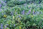 WA, Mt. Rainier NP, Wildflowers