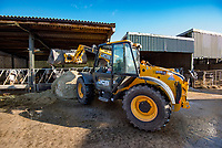 Using a JCB Loadall 526.56 to bed dairy cows with straw on a dairy farm near Bury, Greater Manchester, England.