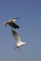 Birds Adult Black-headed Gulls Larus ridibundus hovering over sea Zingst Baltic sea coast Germany
