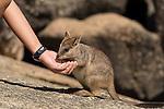 Mareeba rock-wallaby (Petrogale mareeba) baby hand fed with oats