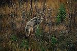 Coyote walks through trees in Jasper National Park in Alberta, Canada.