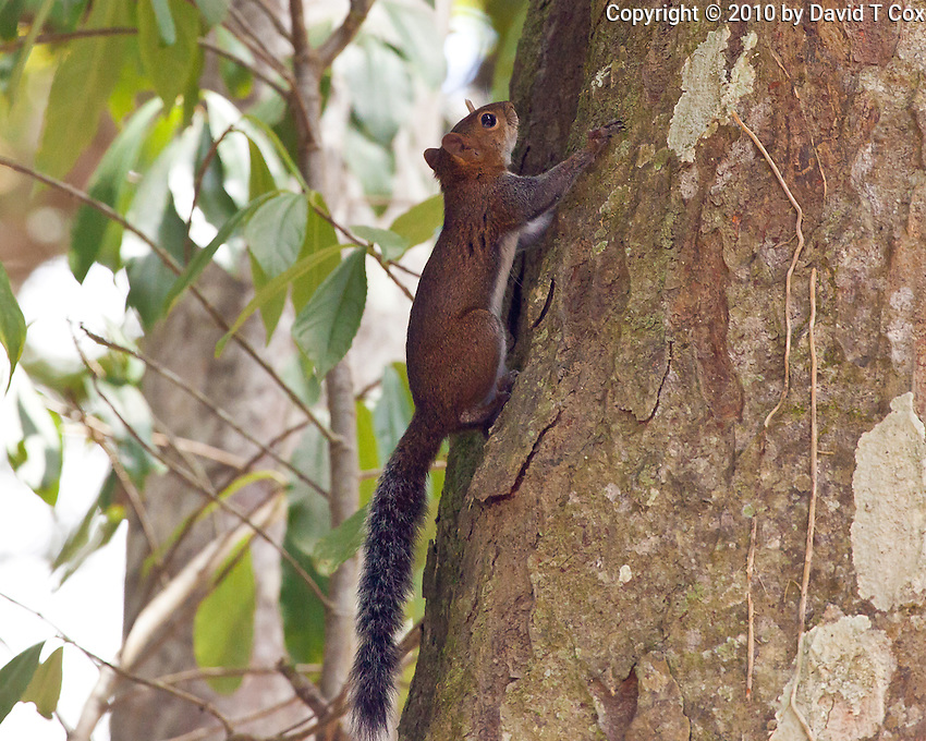 Deppe's Squirrel, Yaxha, Peten, Guatemala
