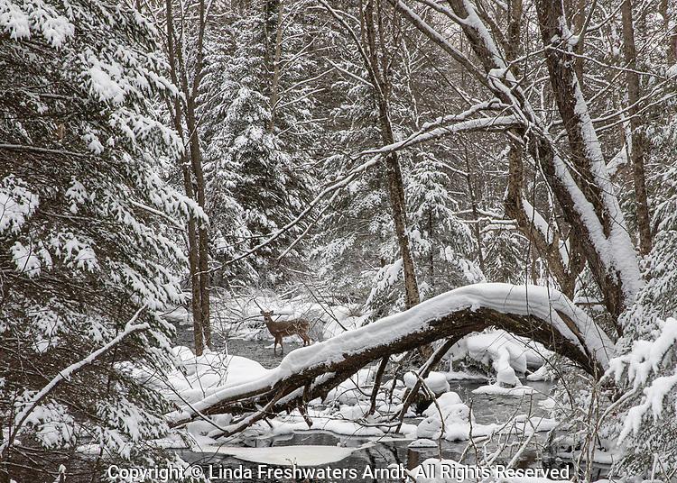 White-tailed deer walking in a winter wonderland.