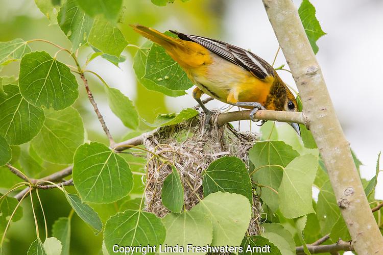 Female Baltimore oriole leaving her nest