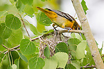 Female Baltimore oriole leaving her nest