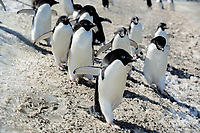 adelie penguins, Pygoscelis adeliae, South Orkney Island, Antarctica