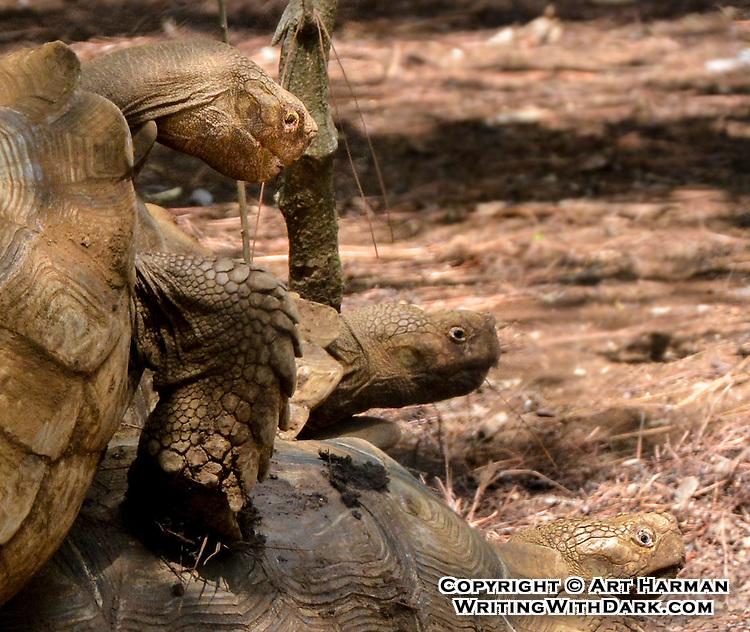 """Tortoise Recreation"" by Art Harman"