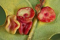 Gallwespe an Eiche, Krempengalle, Galle, Gallen der parthenogenetischen Generation, Neuroterus albipes, Neuroterus laeviusculus, gall wasp
