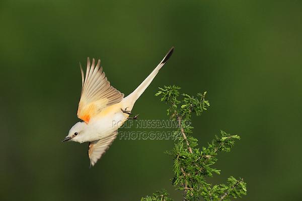 Scissor-tailed Flycatcher (Tyrannus forficatus), adult female in flight, Laredo, Webb County, South Texas, USA
