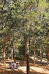 Israel, Jerusalem Mountains. Pine trees by the Jeeps Road