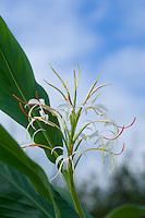 Hedychium Yunnanense