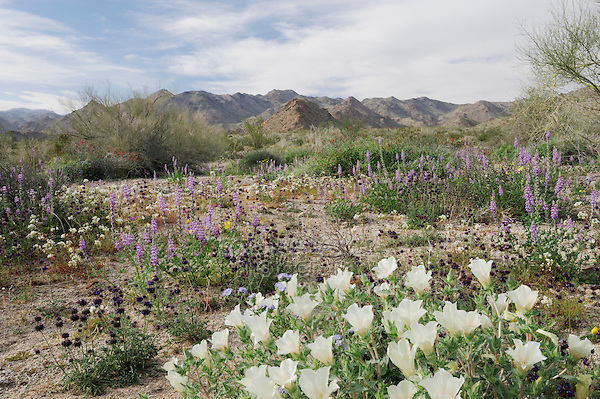 Desert in bloom with Sand Blazing Star (Mentzelia involucrata), Chia (Salvia columbariae), Arizona lupine (Lupinus arizonicus), Joshua Tree National Park, California, USA