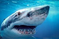 great white shark, Carcharodon carcharias, Spencer Gulf, Australia