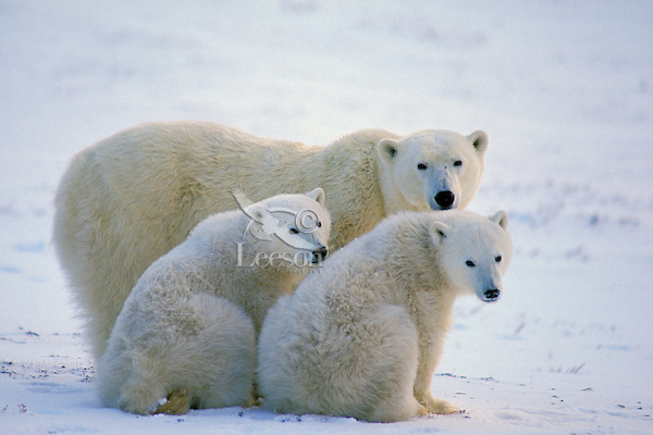 Polar bear (Ursus maritimus) sow with two cubs.