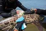 Attaching Tag To Leopard Shark