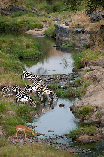 As birds of a feather flock together so will most grazers, regardless of their species. Drinking time can come with its own dangers especially if drinking in crocodile infested waters. Everyone is a potential victim and so vigilance for each other is important.
