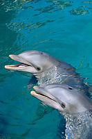 atlantic bottlenose dolphin, Tursiops truncatus, Puerto Plata, Dominican Republic, Caribbean, Atlantic (c)